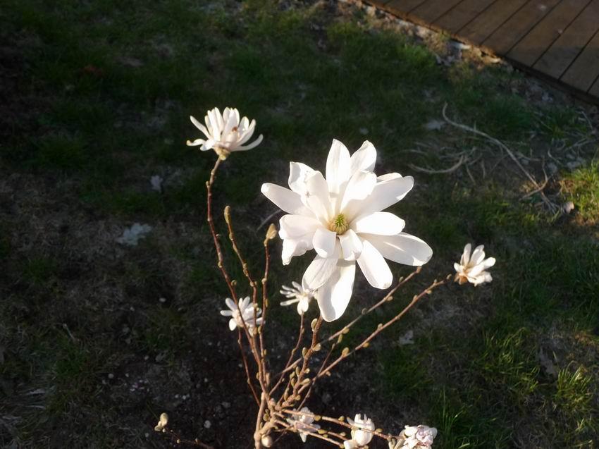 /files/magnolie.jpg